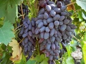 Виноград дамские пальчики или хусайне белый: полезные свойства сорта