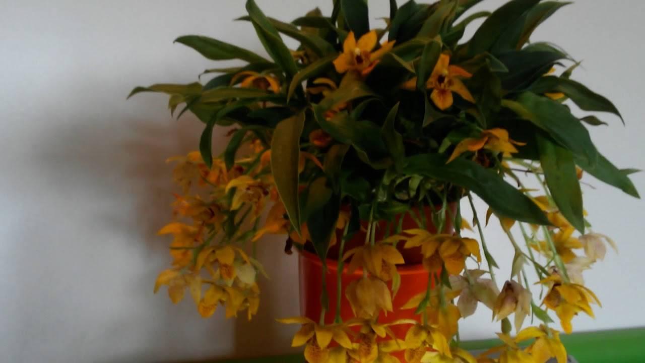 Орхидея энциклия: уход в домашних условиях, виды, пересадка и размножение