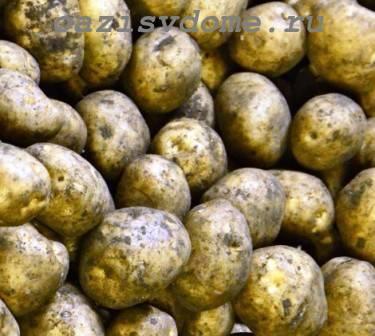 Обработка картофеля перед посадкой от болезней и вредителей