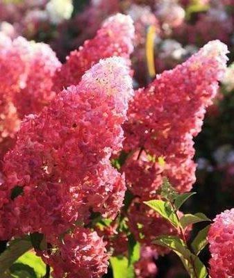 Метельчатая гортензия фрайз мельба (fraise melba): описание сорта, посадка и уход