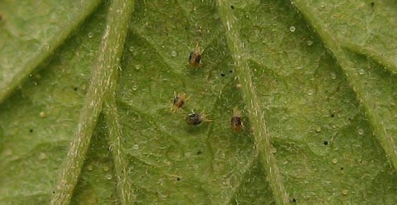 Меры борьбы с паутинным клещом на огурцах в открытом грунте и теплице