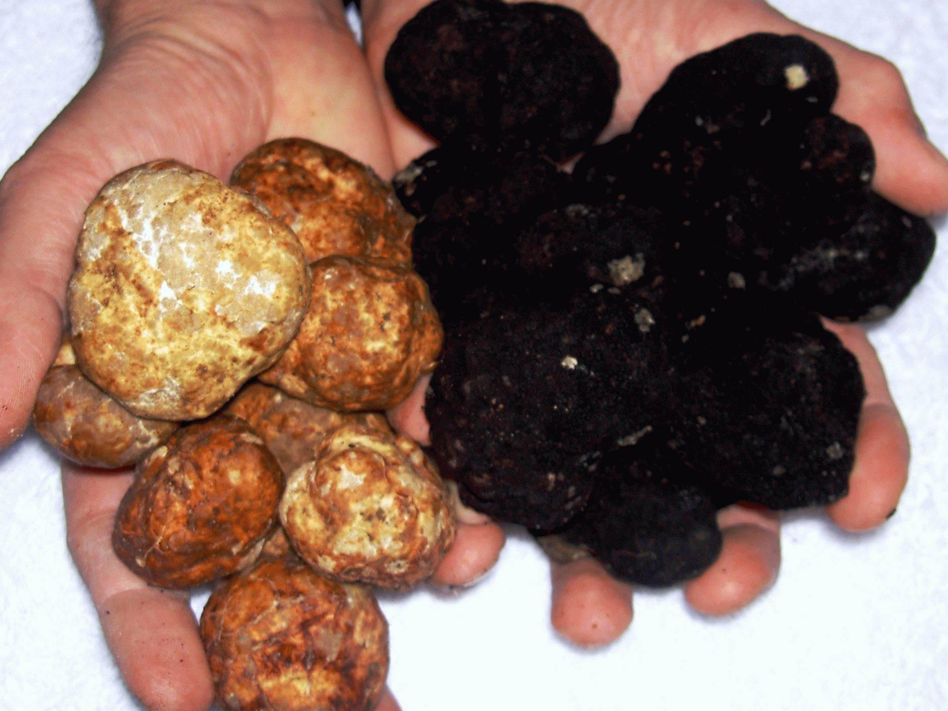 Где растут трюфели в россии: как найти грибы, цена на них