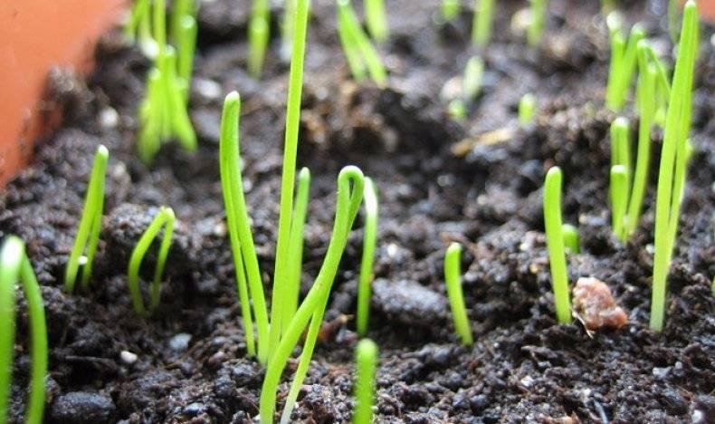 Как выращивать лук эксибишен весом в 1 кг? посадка и уход