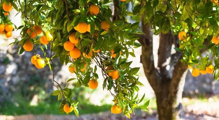 Апельсин. полезные свойства.