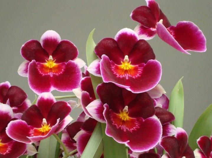 Мильтония (miltonia). период покоя, уход, способы размножения. | floplants. о комнатных растениях