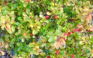 Способы размножения барбариса: черенками, отводками и семенами, весной, летом и осенью