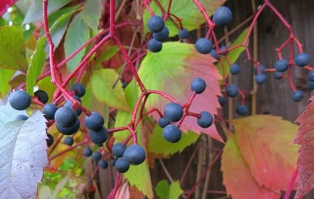 Любимец садоводов – девичий виноград: фото, посадка и уход