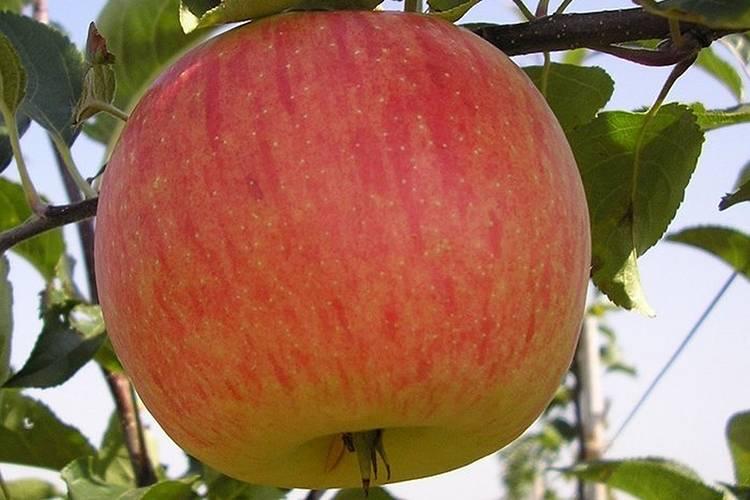 Мельба яблоня: описание, полное руководство по выращиванию