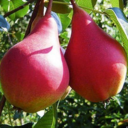 Груша есенинская: описание сорта, фото, отзывы садоводов