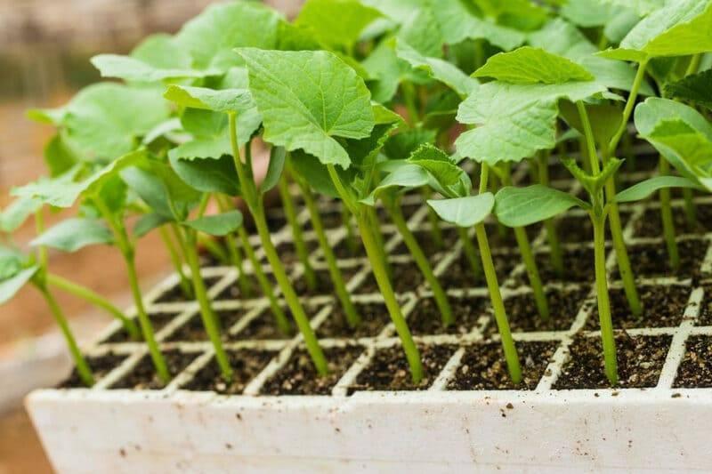 Рассада огурцов вытянулась: что делать с переросшими растениями, как посадить |