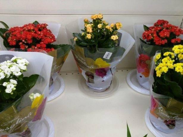 Как ухаживать за цветком каланхоэ в домашних условиях?