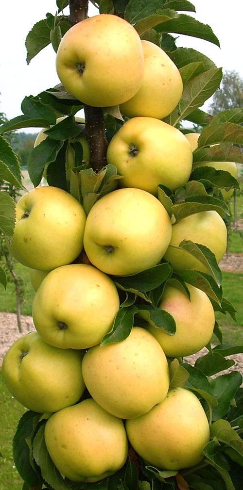 Яблоня-полукарлик: фото сортов полукарликовых яблонь, видео обрезки, посадки, ухода за полукарликовыми яблонями