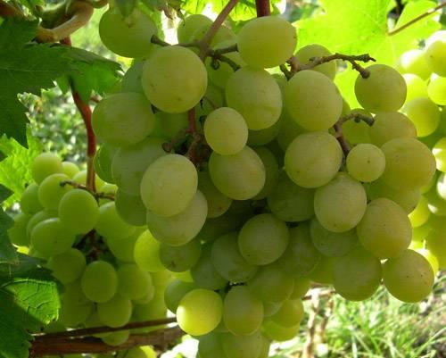 Виноград фрумоаса албэ: характеристика и описание сорта