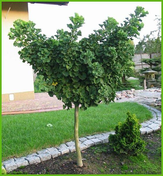Гинкго билоба – ключ к молодости: выращивание на дачном участке