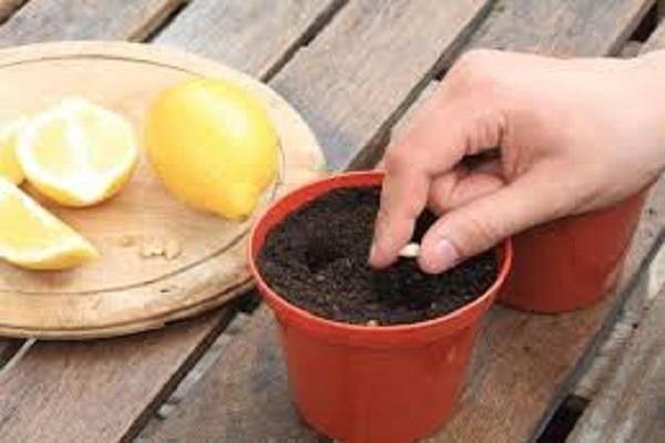 Описание лимона сорта новогрузинский, правила посадки и ухода в домашних условиях