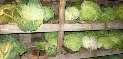 Какую температуру выдерживает рассада капусты