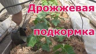 Дрожжевая подкормка томатов, баклажан, клубники