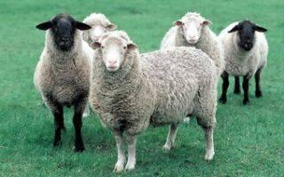 Польза овечьего молока, питательный состав и калорийность