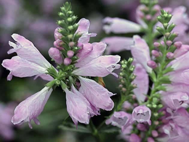 Выращивание и посадка физостегии в грунт: как ухаживать, поливать, подкармливать