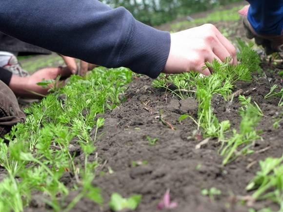 Как посадить морковь семенами в открытом грунте, чтобы не прореживать + видео