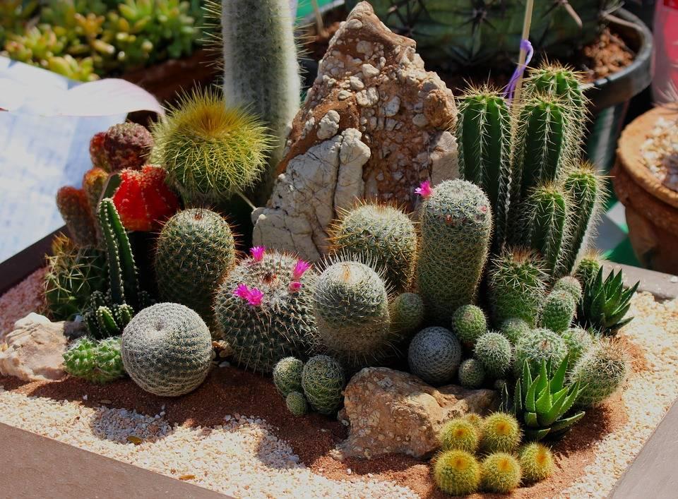 Кактусы - домашние виды с описанием и фото