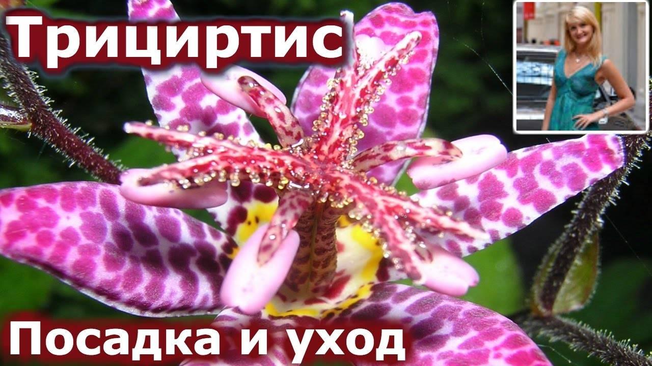 Трициртис - фото, посадка и уход в домашних условиях, выращивание садовой орхидеи, описание растения