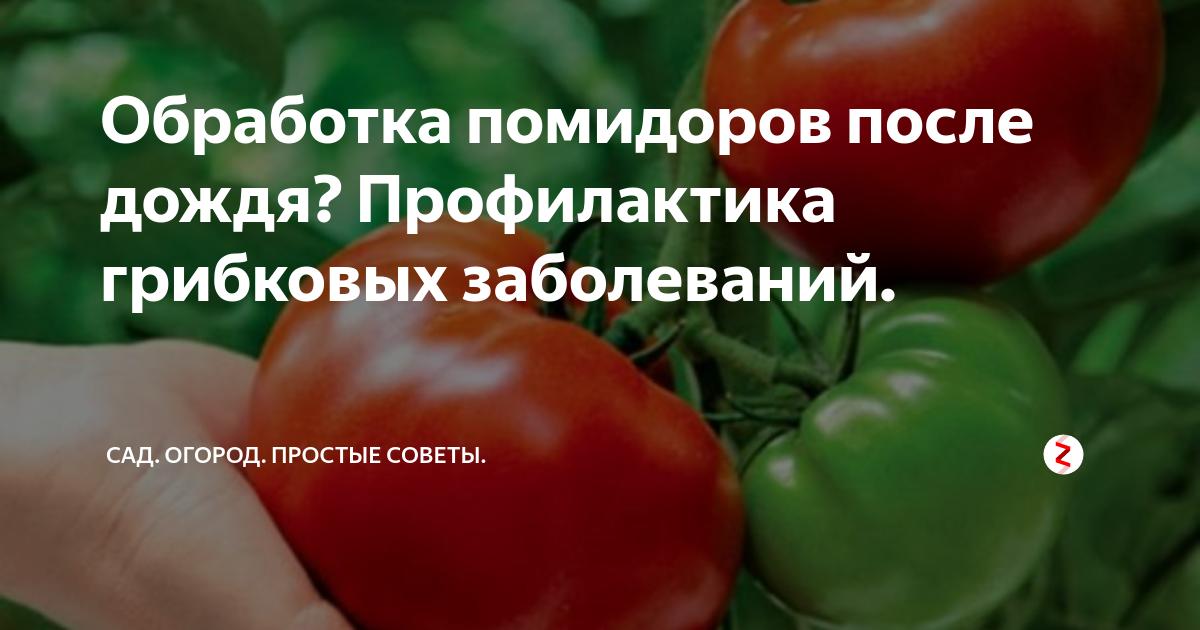 Чем опрыскать помидоры от болезней, когда лучше опрыскивать томаты: утром или вечером