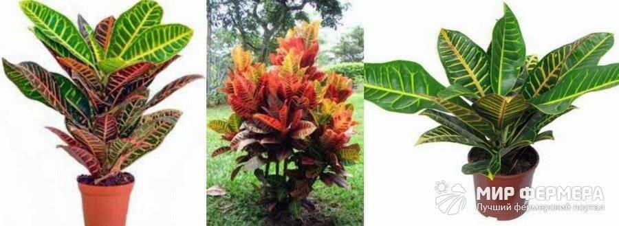 Кротон (codiaeum) – уход, фото, виды