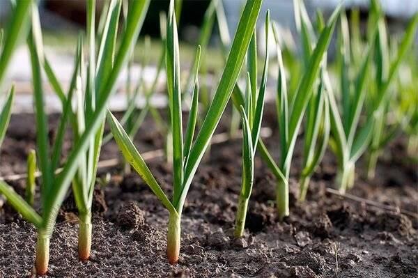 Подкормка чеснока весной, летом и осенью