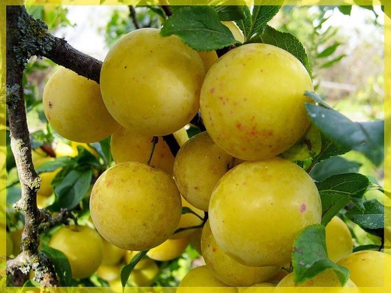 Слива ренклод: описание сорта, выращивание, отзывы, фото