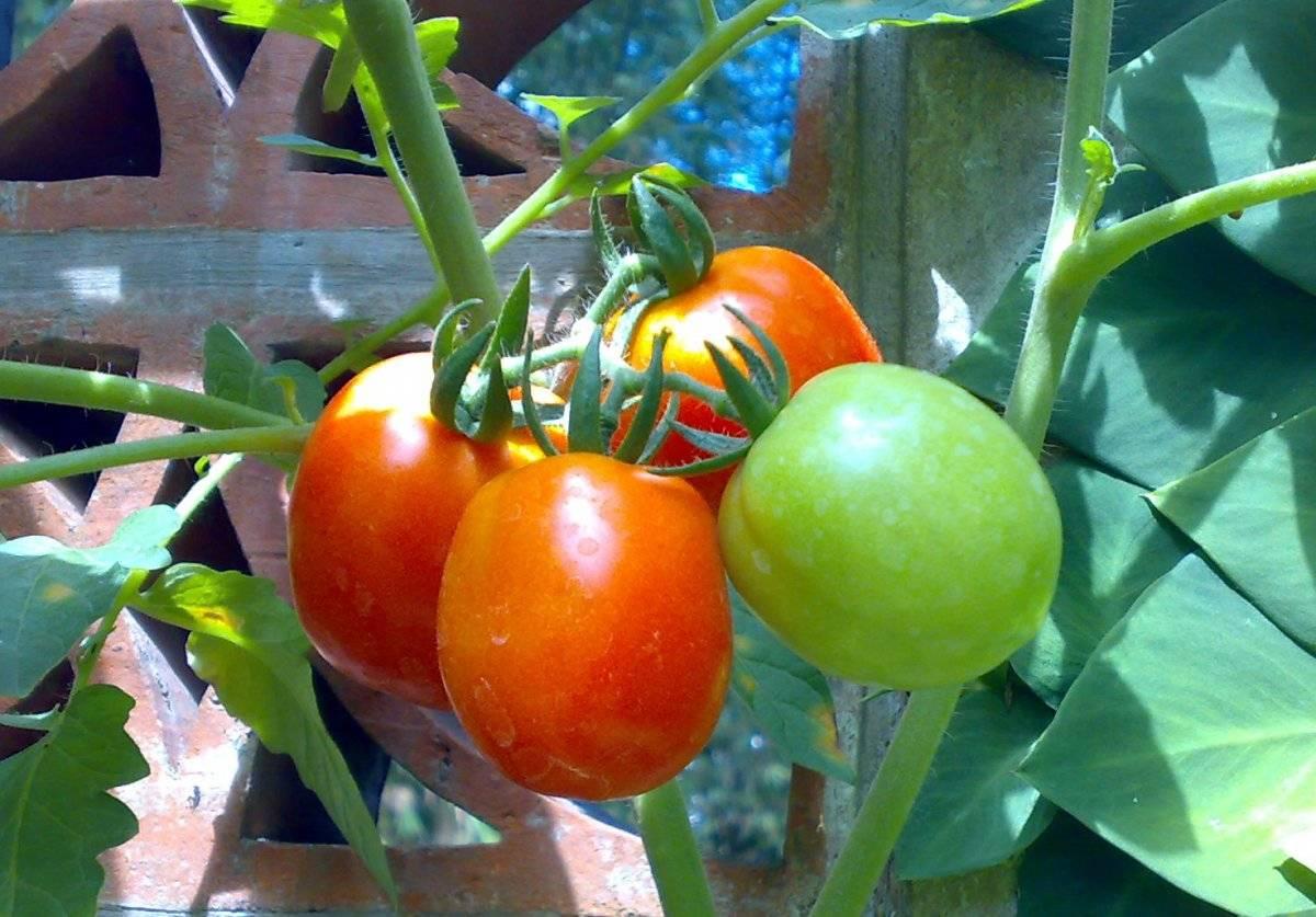 Первая подкормка рассады помидор после всходов чем подкармливать