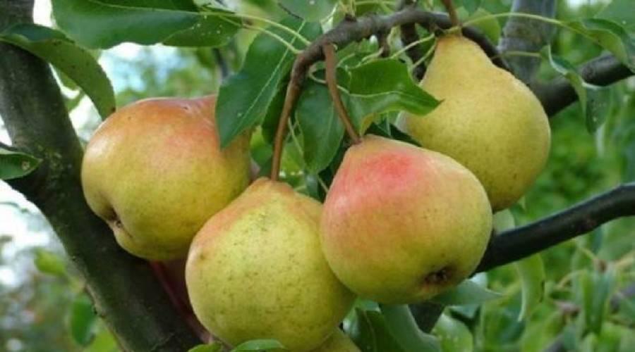 Осенние сорта яблок в беларуси