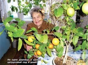 Как вырастить лимон в домашних условиях из косточки, а также будет ли он плодоносить