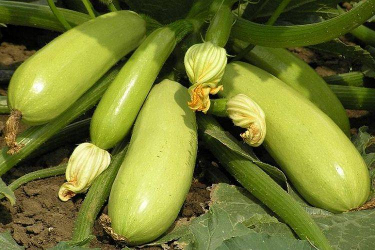 Суперкабачок  искандер: особенности сорта и его выращивания