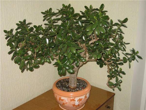 У денежного дерева начинают опадать листья: причины, что делать с толстянкой