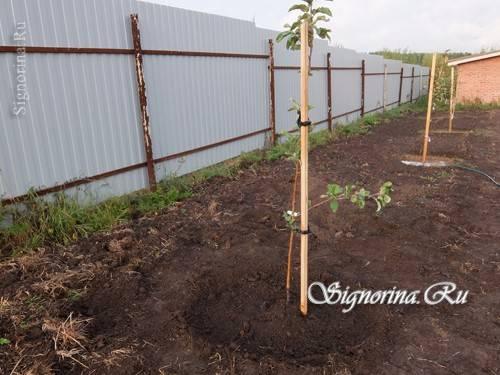 Как и когда посадить яблоню осенью в открытый грунт саженцем