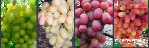 Выращивание кинельского винограда - мыдачники