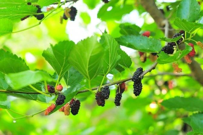 Сорта шелковицы: 8 лучших сортов тутового дерева