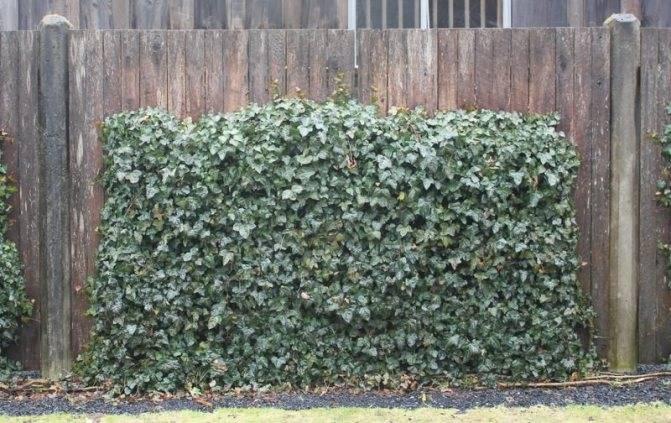 Плющ садовый вечнозеленый: посадка и уход плющ садовый вечнозеленый: посадка и уход
