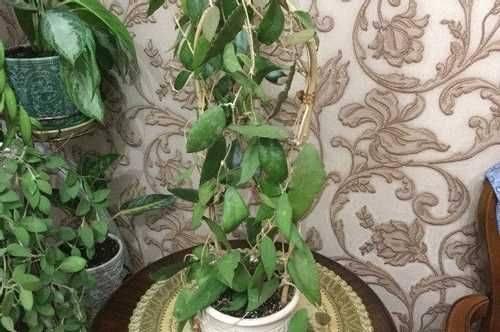 Популярные разновидности хойи для истинных поклонников экзотичных комнатных растений - огород, сад, балкон - медиаплатформа миртесен