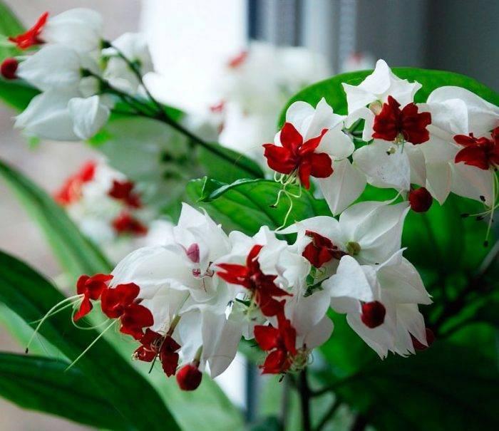 Клеродендрум томпсона (33 фото): уход за цветком в домашних условиях. что делать, если у него белеют листья? способы его размножения