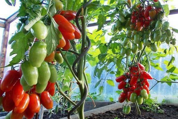 Среднеспелый, высокоурожайный и необычный по форме томат «казанова»: отзывы фермеров и советы по выращиванию