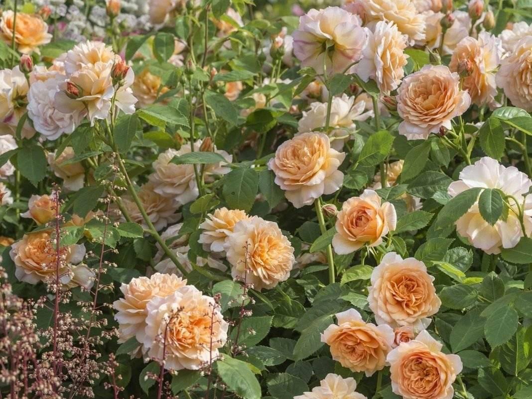 Посадка роз весной в открытый грунт саженцами: когда и как правильно сажать, когда пересаживать, правила укоренения