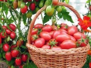 Томат гном - описание сорта, характеристика, урожайность, отзывы, фото