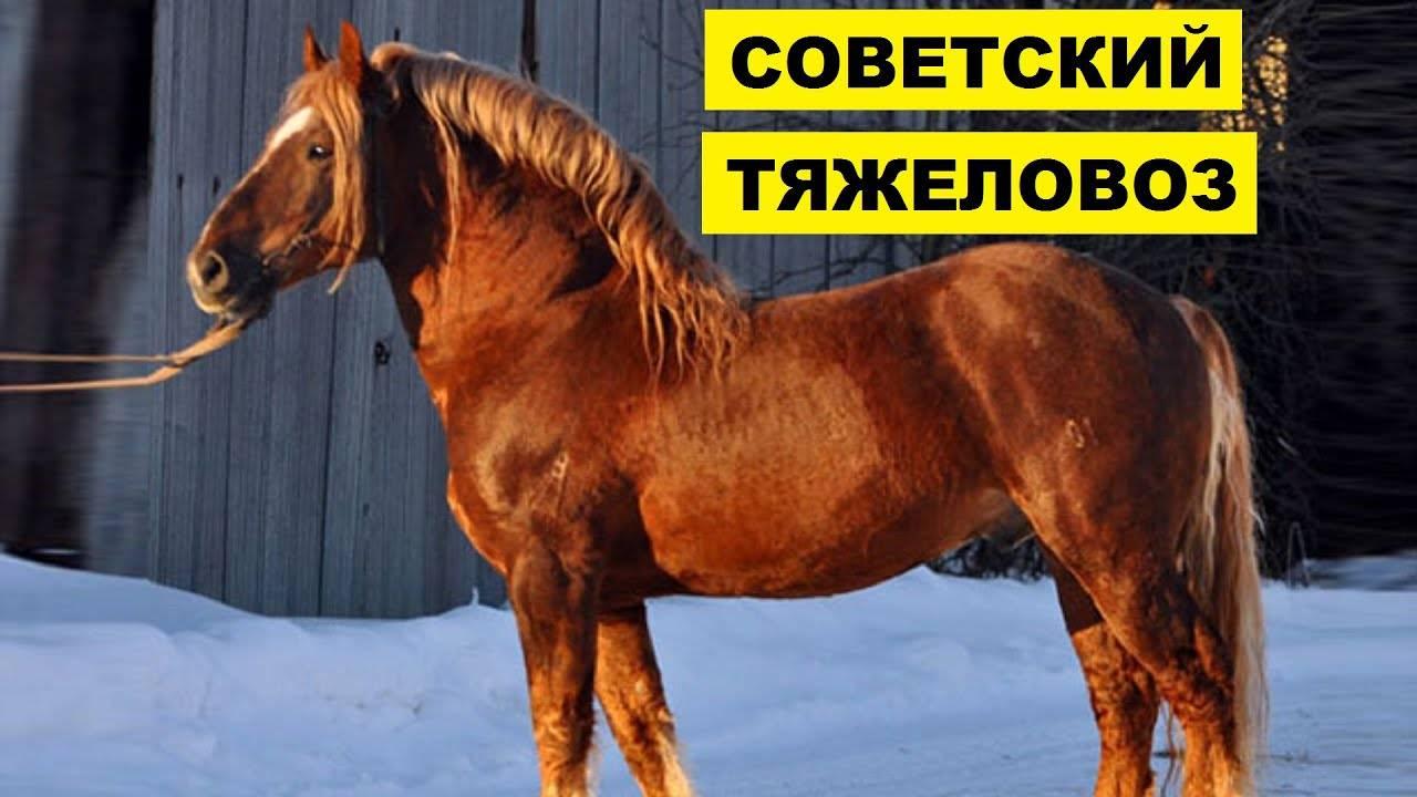 Описание лошадей породы советский тяжеловоз