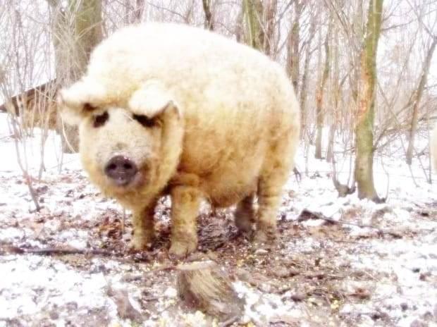 Венгерская мангалица порода свиней: описание, характеристика