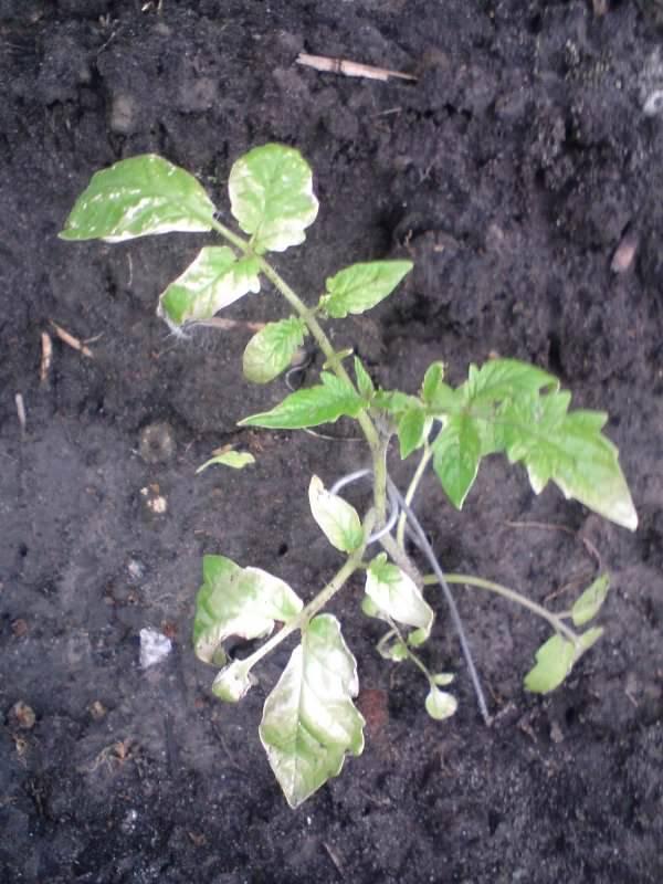Почему белеют листья у рассады помидоров: что делать