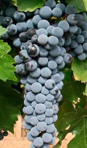 Виноград «левокумский»: описание сорта, фото и отзывы. основные его плюсы и минусы, характеристики, морозоустойчивость и особенности выращивания в регионах