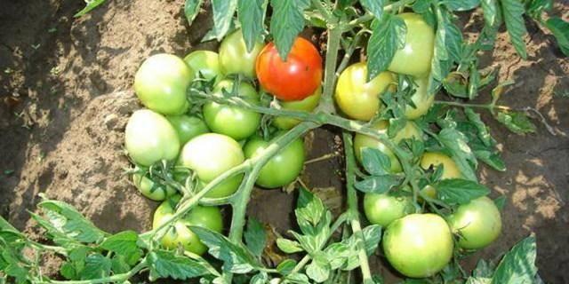 Выращивание томата настенька