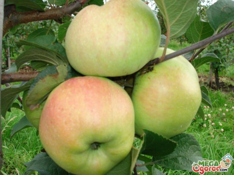 Яблоня «спартан» — характеристика и описание сорта. фото и отзывы садоводов